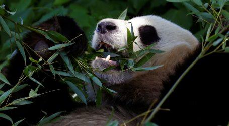 Velike pande su omiljene životinje u Aziji