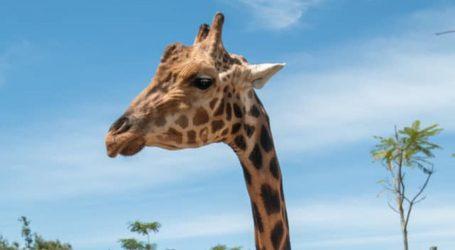 Upoznajte Foresta, najvišu žirafu na svijetu