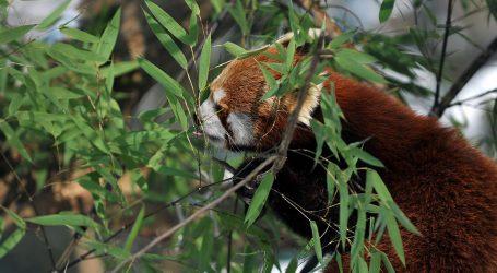 Mladunac crvenog pande uživa u zoološkom vrtu u Berlinu