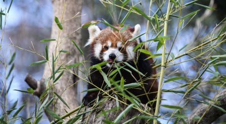Crveni panda se pogostio svježim višnjama