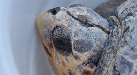 Rijetka žuta kornjača pronađena u Indiji