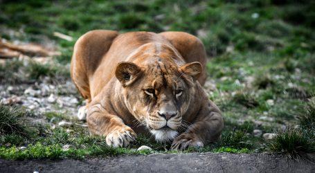 Rusko sklonište za životinje brine o zlostavljanom laviću