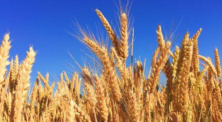 Žetva u punom jeku; ratari zadovoljni urodom pšenice