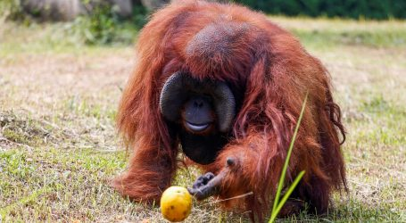 Zoološki vrt u Shanghaiju upario orangutana i čimpanzu