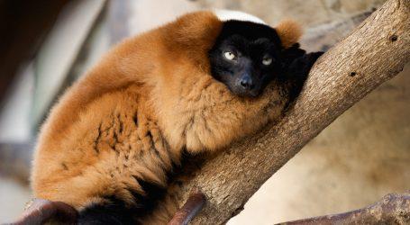 Crveni prstenasti lemuri glavna atrakcija zoološkog vrta u Singapuru