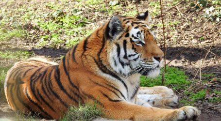 Povećao se broj sibirskih tigrova na krajnjem sjeveroistoku Kine