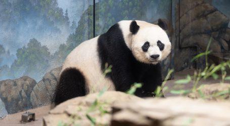 Veliki panda Mao Zhu počastio posjetitelje zoološkog vrta