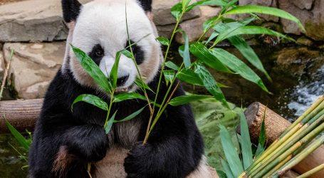 Veliki panda Qiqi proslavio drugi rođendan i privikava se na novi način prehrane