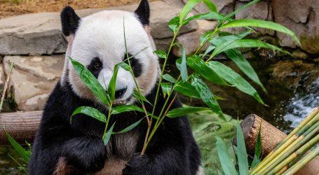Pogodite koliko prstiju ima veliki panda