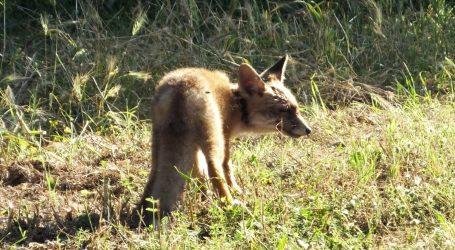U Berlinu otkrivena lisica koja skuplja 'kroksice'
