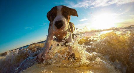 Tradicionalno natjecanje pasa u surfanju ove godine online