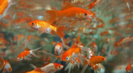 Nova atrakcija za turiste: Tisuće zlatnih ribica u japanskom akvariju
