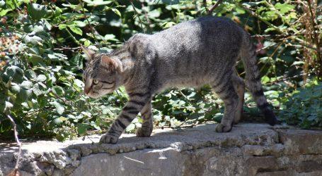 Rijetka snimka kineskih pustinjskih mačaka