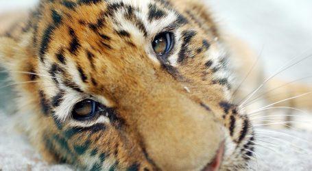 Mala tigrica čeka da Poljaci izaberu za nju prikladno ime