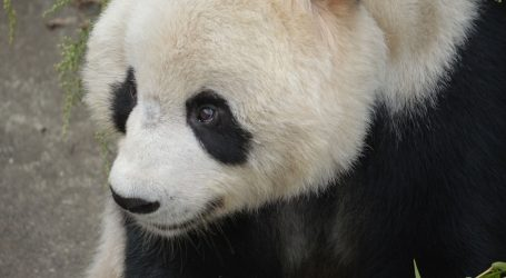 U kineskom ZOO-u organizirana velika rođendanska proslava za najstariju divovsku pandu