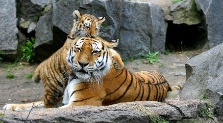Mladunci južnokineskog tigra u Šangaju uskoro će dobiti imena