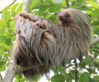 Najstarija ljenjivka na svijetu uginula u zoološkom vrtu u dobi od 51 godine