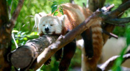 Albino crveni panda snimljen u kineskom rezervatu