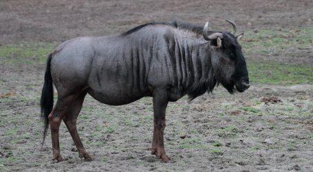 Rijeka Mara je izuzetno važna za afričke životinje