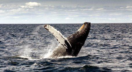 Težak zadatak rastavljanja kostura grbavog kita u irskom muzeju