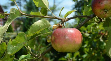 Branje voća donosi zaradu, ali je i zdrava aktivnost