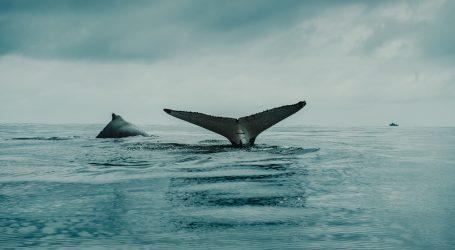 Pogledajte odličnu snimku plavetnih kitova u blizini obale San Diega