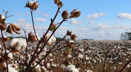 Znanstvenici uzgojili obojeni pamuk, novo održivo rješenje za modnu industriju