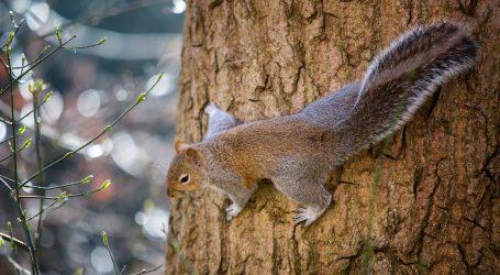 Vjeverice se ponekad hrane i nektarom iz cvjetova