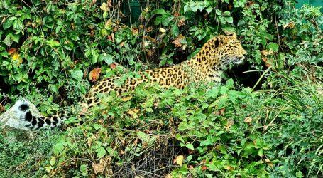 U ZOO Zagreb stigla kineska leopardica Odilia, dočekao je mužjak Tadzik