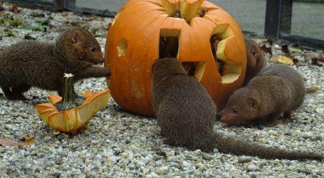 ZOO: Životinjama podijeljene bundeve s oznakama njihove ugroženosti