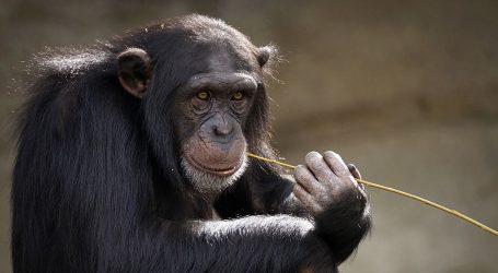 Baš kao ljudi, starije čimpanze imaju malobrojne, ali iskrenije prijatelje
