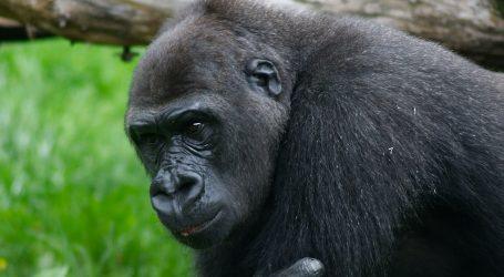 London Zoo: Mladi gorila je za vrijeme pandemije vježbao akrobacije