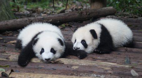 Analizom DNA otkriven spol prinove velikog pande iz Washingtona