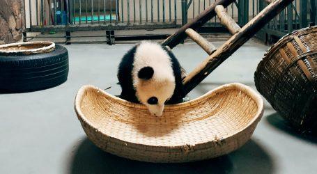 Mladunci velikog pande najavili Univerzijadu 2021. u Chengduu