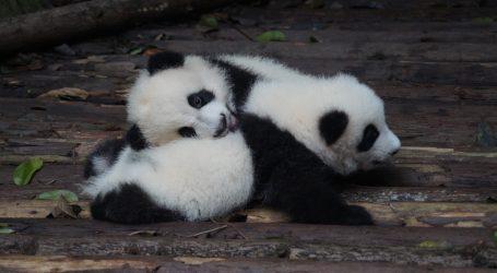 Istraživački centar Qinling i dalje brine o populaciji velikih pandi