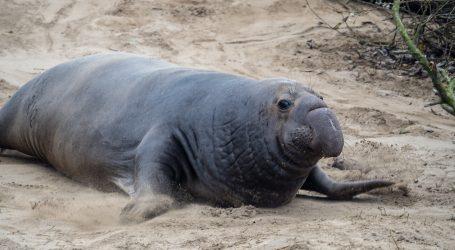 Morski slon neko vrijeme lutao ulicama čileanskog grada