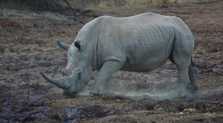 Mladunče bijelog nosoroga brzo staje na noge