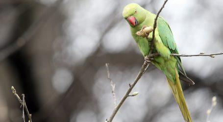 Brazil: Krijumčari u automobilu prevozili 166 mladih papiga