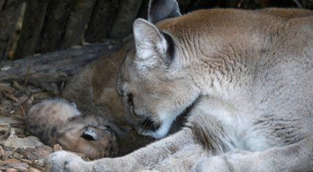 Pariški Zoološki vrt: Mlada puma se mora prilagoditi životu u nastambi