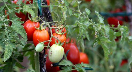 Pogledajte kako se uzgajaju rajčice bez zemlje i s malo vode