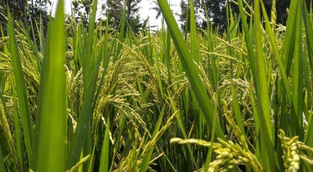 Kinesko selo i ove godine predstavilo dekorirana rižina polja