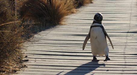 Olde postala najstariji pingvin u zatočeništvu, ova 41-godišnjakinja ima poseban status u ZOO-u