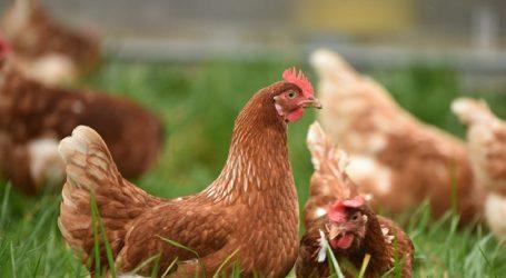 Ptičja gripa ne širi se sa zaražene koprivničke farme, usmrćuju sve purane