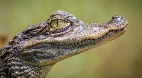 Florida: Amerikanac spasio štenca iz ralja aligatora