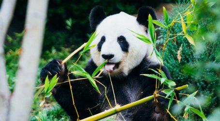 Kanada nema dovoljno svježeg bambusa, dvije divovske pande otputovale u Kinu