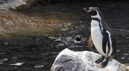 Harbin: Pingvinu trebalo dvije i pol minute da se izlegne iz jaja