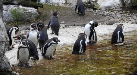 Zatvoren ZOO u Pragu, pingvinima u Cape Townu nedostaju posjetitelji