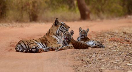 Lehe Ledu Park: Bengalski tigrići prvi put pušteni u vanjsku nastambu