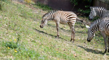 Više mladunaca došlo na svijet u Monarto Safari Parku