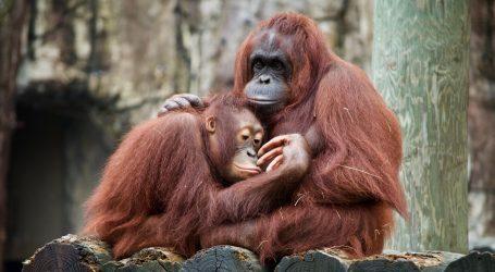 Novi stanovnik belgijskog zoološkog vrta je sumatranski orangutan